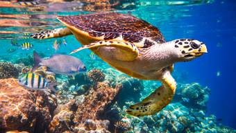 Rund ein Drittel der riffbildenden Korallen ist vom Aussterben bedroht. Von Korallenriffen sind wiederum eine Vielzahl weiterer Arten abhängig.