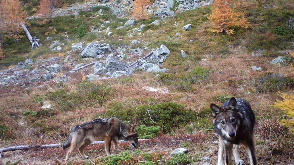 Trotz einer weiteren Abschussbewilligung konnte kein weiterer Jungwolf des Walliser Rudels erlegt werden. (Archivbild)