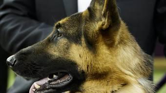 Die Hündin Rumor wurde nach einem Song von Adele benannt. Das brachte ihr offenbar Glück: Sie gewann die älteste und renommierteste Hundeshow der Welt.