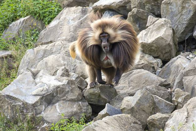 Männlicher Dschelada im Semien Gebirge des Zoo Zürich.