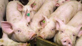 Der Verurteilte verkaufte insgesamt 9000 Mastschweine unter einem falschen Schweizer Qualitätslabel.