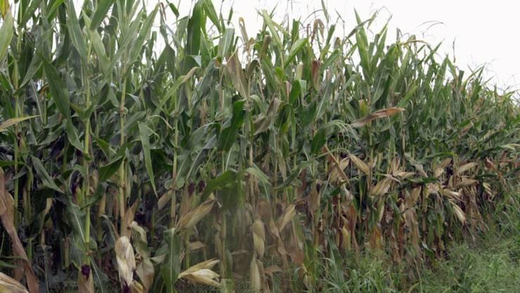 Ein vom Maiswurzelbohrer betroffenes Maisfeld. (Archivbild)