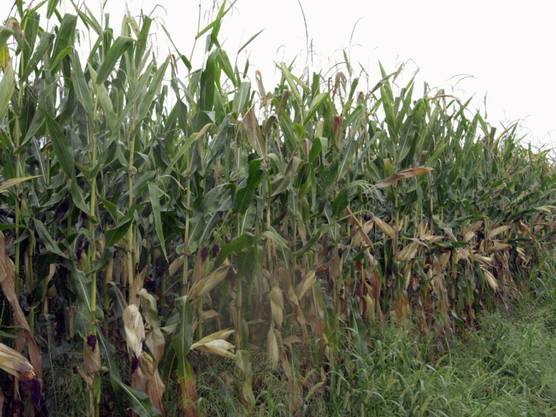 Ein vom Maiswurzelbohrer betroffenes Maisfeld.