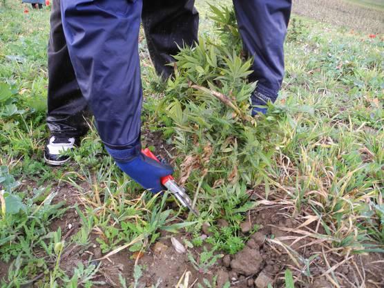Die Arbeiter schneiden die Pflanzen ab. Diese sind nicht wirklich gross gewachsen - normalerweise werden sie rund einen Meter hoch.