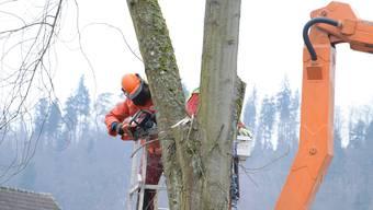 Forstwart Ueli Lüscher fällt den Baumstamm Stück für Stück. bie