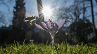 Eine Biene fliegt eine Krokus an.