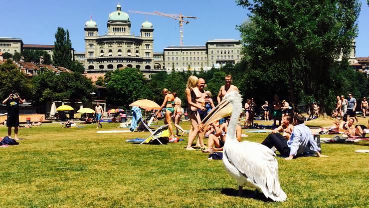Vor dem Bundeshaus landete ein geflohener Pelikan