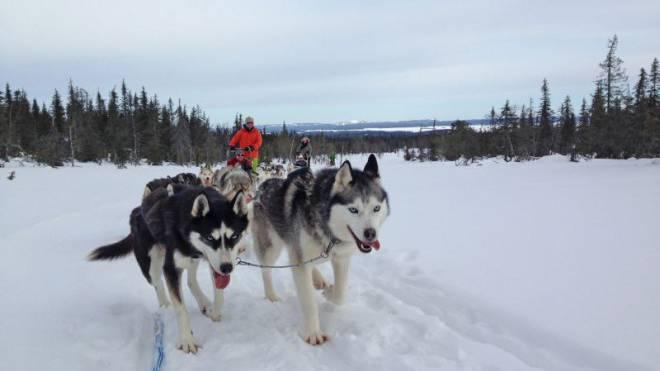 Mit 8 HS: Mit acht Huskys gleite ich durch die finnische Einsamkeit. Festhalten ist empfehlenswert. Foto: HO
