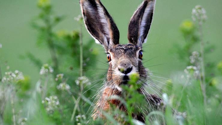 Zuwachs erwünscht: Das Projekt «Hopp Hase» will für mehr Feldhasen im Baselbiet sorgen. (Symbolbild)