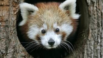 Die Feuerwehr spritzte den Kleinen Panda vom Baum (Symbolbild)