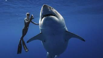 Profi-Taucherin Ocean Ramsey schwimmt vor Hawaii mit einem riesigen Weissen Hai.