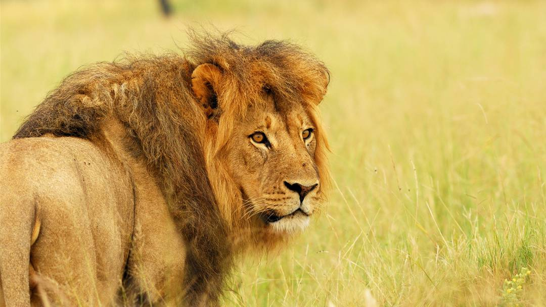 Gähnende Löwin, atemberaubender Sonnenuntergang