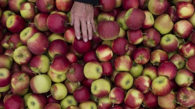 Jonagold-Apfel-Ernte im thurgauischen Altnau