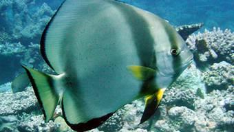 Das Great Barrier Reef ist bedroht (Archiv)