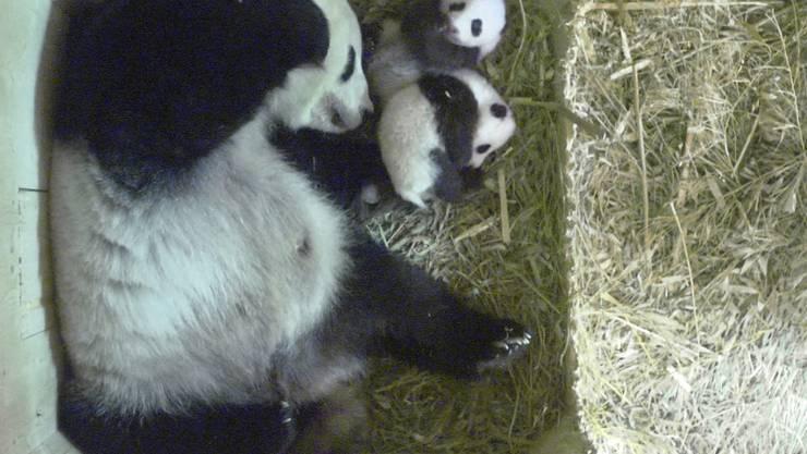 Wie das Weibchen heisst entschied der Zoo - Fu Feng. Über den Namen für das Männchen stimmten in den vergangenen zwei Wochen rund 12'000 Fans aus der ganzen Welt ab. (Bild vom 12. Oktober)