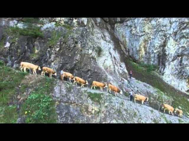 Drohnenvideo des Alpabzugs von der Engstligenalp im September 2015.