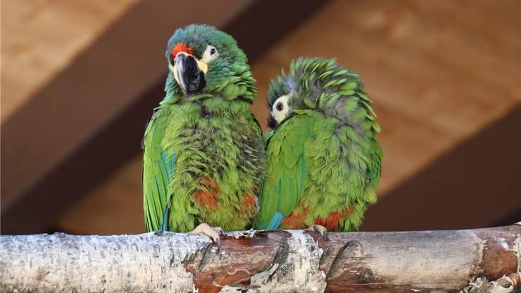 Diese beiden Papageien aus einem kleinen Zoo haben im Sikypark ein neues Zuhause gefunden. zvg