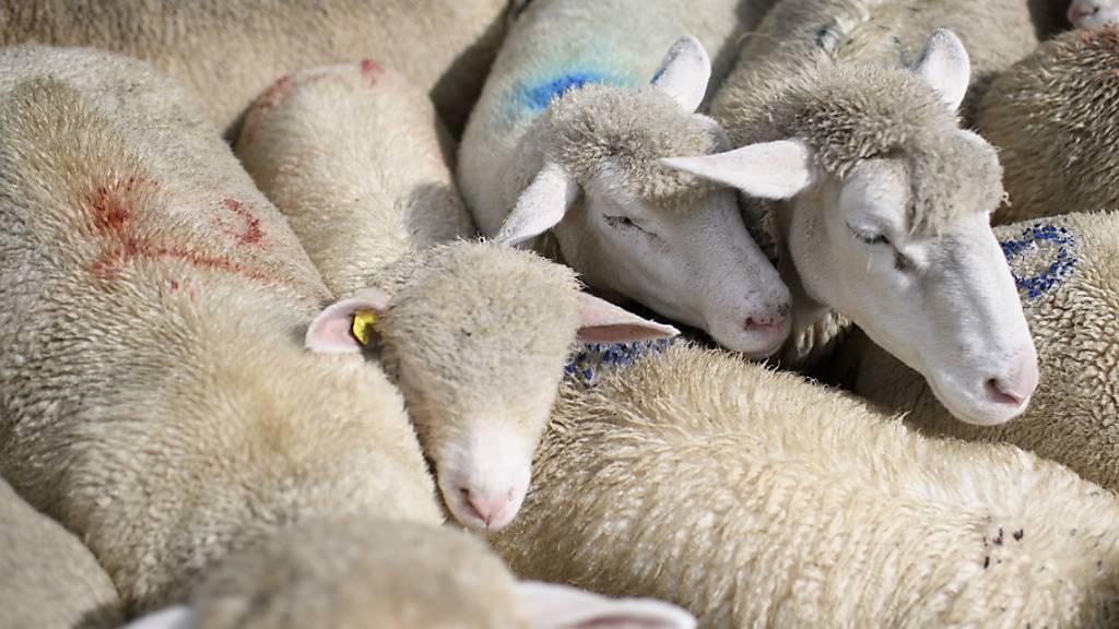 Elf Schafe bei mehreren Wolfsangriffen getötet