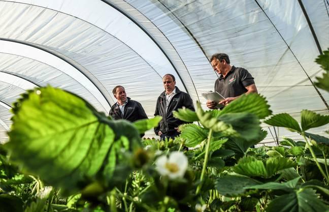 Willi Staubli erklärt Regierungsrat Markus Dieth und Bauernverbandspräsident Alois Huber (von rechts) den Erdbeeranbau und die Vorteile des Folientunnels für den Landwirt und für die Natur.