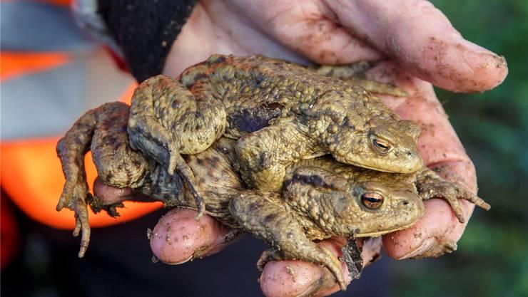 Während der Amphibienwanderung transportieren Naturschützer auch im Fricktal Frösche und Kröten über die Strassen. Archiv/Hanspeter Bärtschi