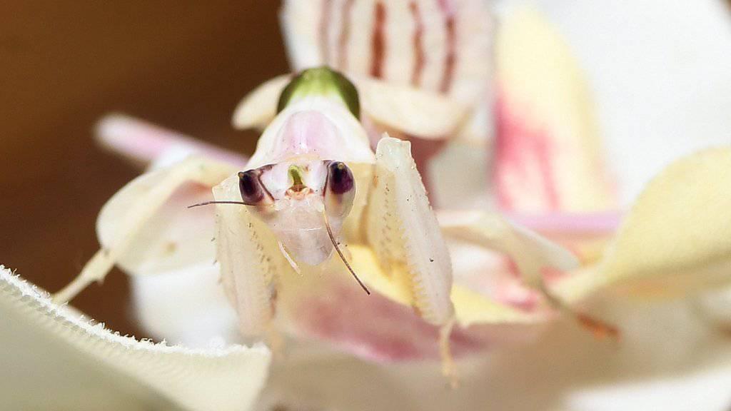 Gut getarnt als Orchideenblüte: Eine hungrige Blütenmantis wartet auf ein Insekt.