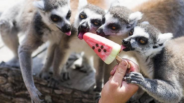 Die Sommerhitze macht vielen Zootieren zu schaffen: In Budapest dürfen Lemuren gefrorene Melone schlecken. (Archivbild)