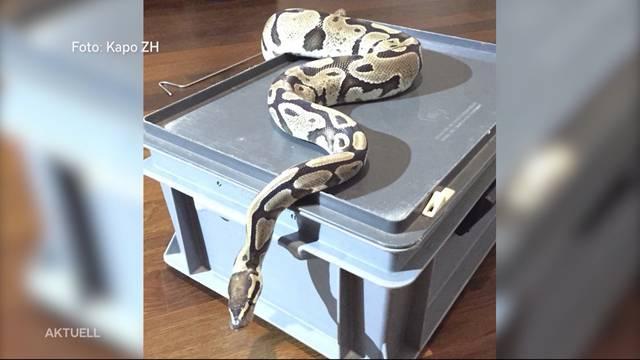 Schlange überrascht Mieter bei Einzug