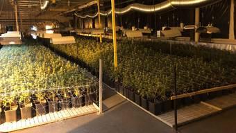 Über 12'000 Pflanzen in unterschiedlichen Wachstumsstadien hat die Kantonspolizei Zürich am Dienstagmorgen ausgehoben.