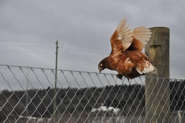 Eine junge Henne auf Abwegen