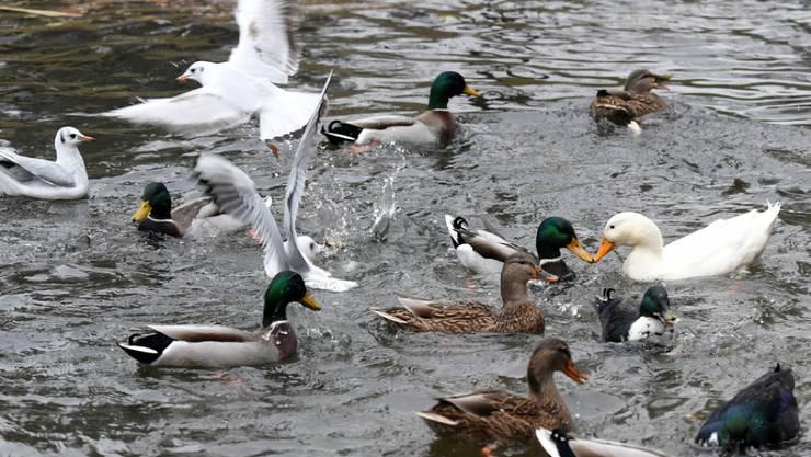 Nach wie vor gelten in der Schweiz Schutzmassnahmen, damit Wildvögel Geflügelherden nicht mit Vogelgrippe anstecken. (Symbolbild)