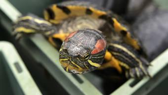 Rotwangen-Schmuckschildkröten sind in der Schweiz seit 2008 verboten. In der freien Natur richtet die invasive Art aus Nordamerika Schaden an. (Archiv)