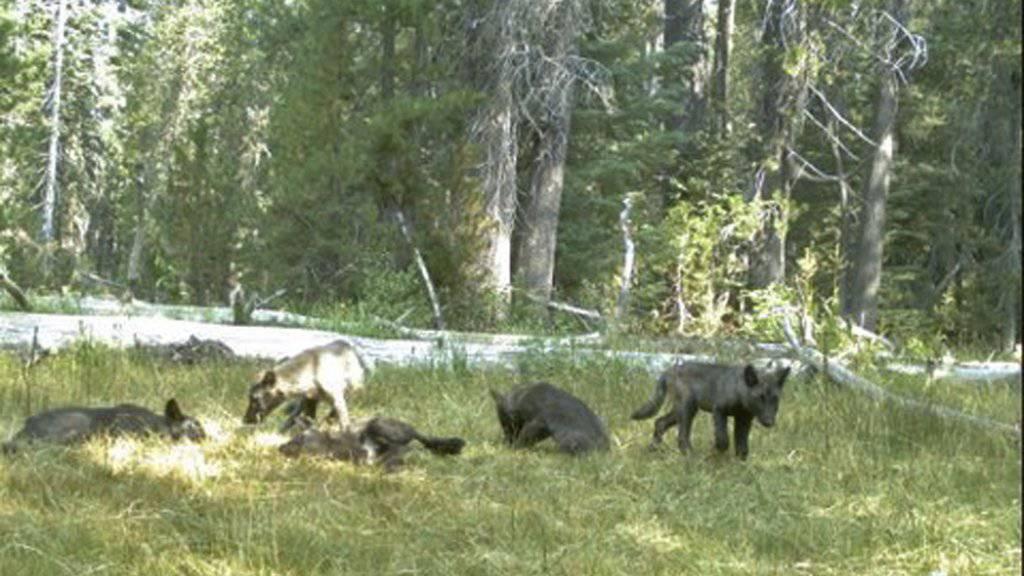 Rückkehr nach fast hundert Jahren: Wolfsrudel in Nordkalifornien