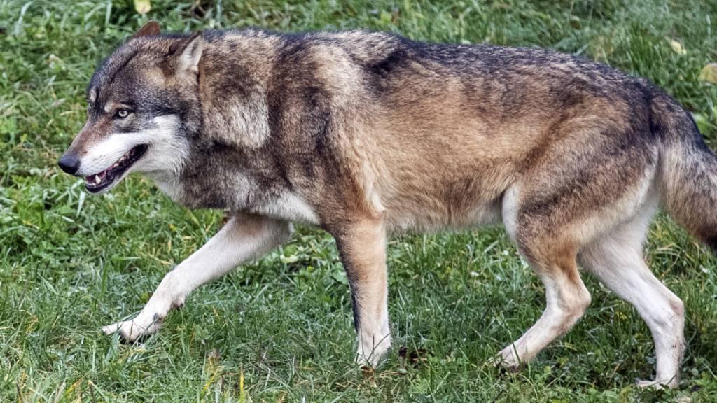 Wolf reisst zwei Geissen auf der Potersalp