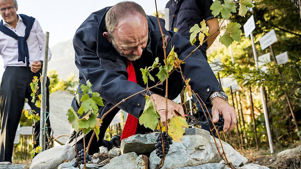 Nationalratspräsident Dominique de Buman (Mitte) gibt alles im Weinberg von Farinet im Wallis, dem kleinsten der Welt.