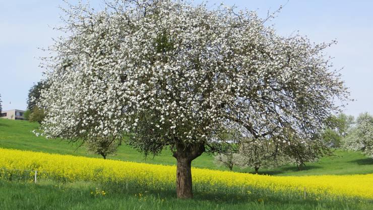Ein Apfelbaum, nicht gemalt, nein bei uns in der Landschaft.