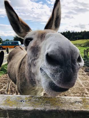 Mein Esel Fany vom Herewnberg. Geniesst den Abend mit Besuch. 25.9.2019 Bergdietikon