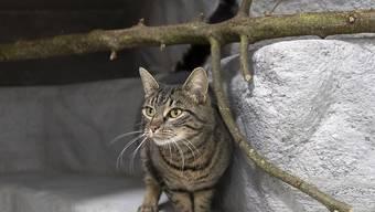 Ob Stubentiger oder Katze mit Freigang: Der Bund, Tierärzte und Tierschützer empfehlen, Katzen mit einem Mikrochip zu kennzeichnen und zu kastrieren. (Themenbild)