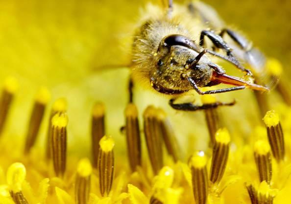 Honig-Biene bei der Arbeit