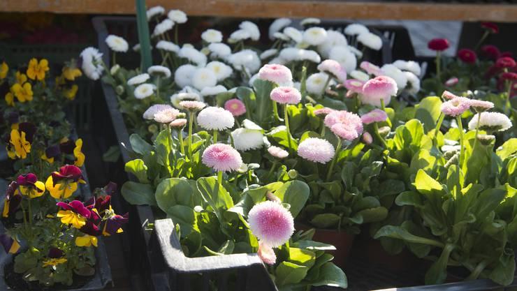 Vor allem Blumen sind der Frühlingsrenner auf dem Wochenmäret am Samstag.