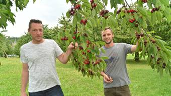 Simon und Lukas Grob - Kirschen selber pflücken im Hof in Winznau