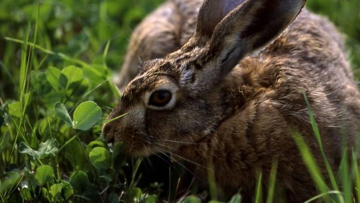 Ein Hase war im Kanton Solothurn mit der Krankheit Hasenpest infiziert (Archivbild).