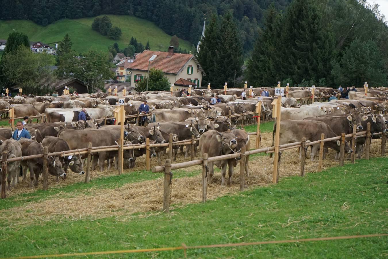 Die Viehschau in Schwellbrunn ist die grösste Viehschau im Kanton Appenzell Ausserrhoden. (© FM1Today/Fabienne Engbers)