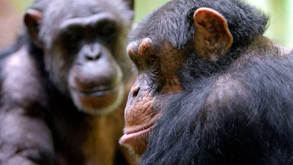 Auch bei Schimpansen beruhen Freundschaften auf gegenseitigem Vertrauen. (Archiv)