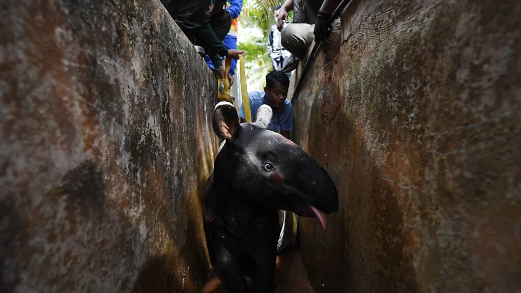 dpatopbilder - Mitglieder des Ministeriums für Wildtiere und Nationalparks, die von der Civil Defense Force unterstützt werden, versuchen, einen ausgewachsenen männlichen Tapir aus einem Abfluss der Sungai Soi National Secondary School zu befreien. Foto: Mohd Faizol Aziz/BERNAMA/dpa