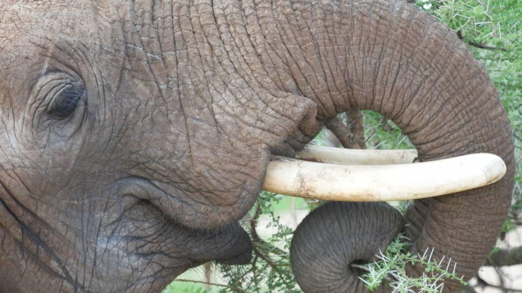 Der Rüssel des Elefanten enthält keine Knochen und Gelenke. Dies verleiht dem Riechorgan eine einzigartige Beweglichkeit. (Pressebild)