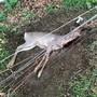 Der Rehbock verletzte sich im Flexinet-Zaun und musste getötet werden. zvg