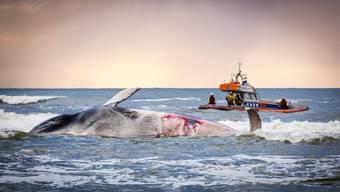 Nordsee: Toter Riesen-Wal an Land gespült