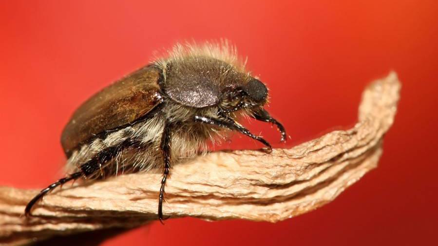 Schlauer in 30 Sekunde - Wieso fliegen Junikäfer so unkoordiniert?