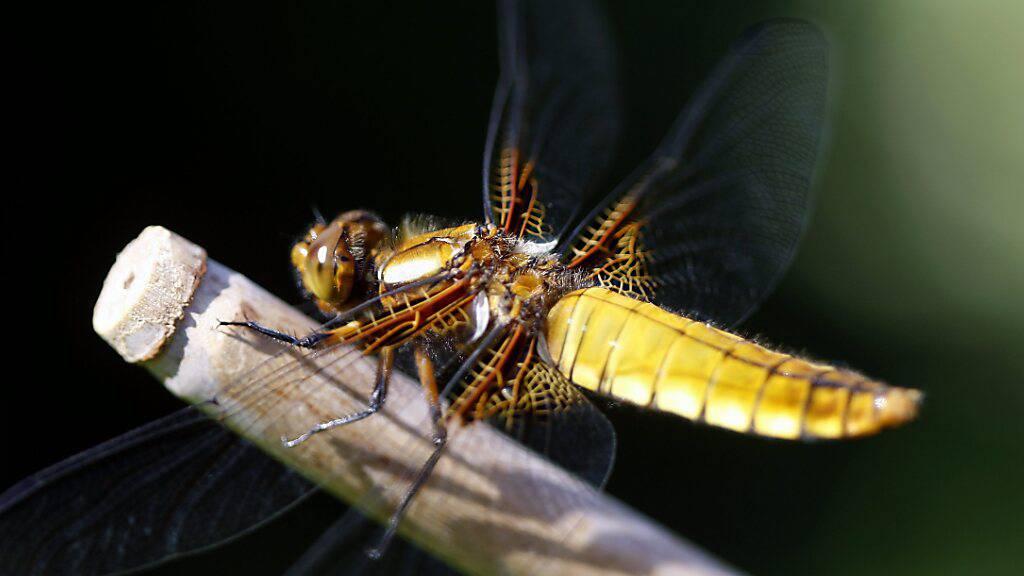 Die Libellen leiden unter dem Verlust ihres Lebensraums: Ein Plattbauchlibellen-Weibchen aus der Gruppe der Segellibellen in einem Garten in Meggen LU. (Archivbild)