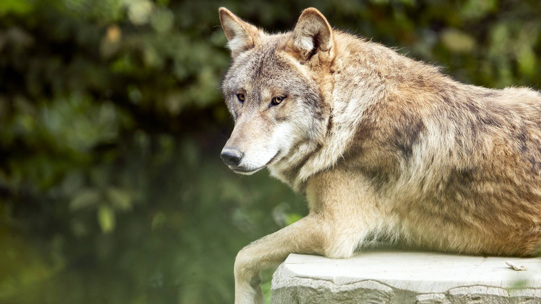 Ein Wolf, aufgenommen im Zoo Zuerich am Mittwoch, 16. September 2020. Der Zoo Zuerich haelt Woelfe seit der 1950-er Jahre. Zurzeit leben fuenf Mongolische Woelfe im Zoo Zuerich.
